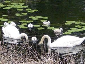 Cape-Cod-Swan-family